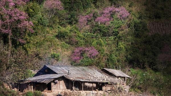 Thí điểm dán tem phân biệt đào rừng