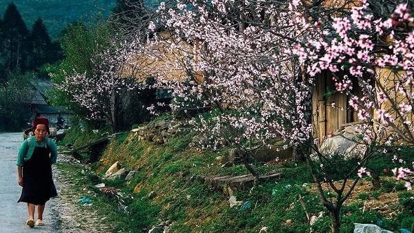 Ngắm hoa mai, hoa mơ, hoa mận nở trắng rừng Tây Bắc