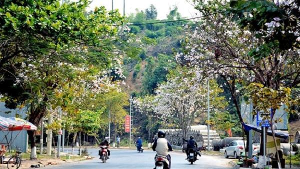 Điện Biên rực rỡ mùa hoa ban