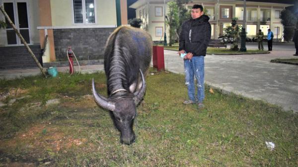 Trộm 3 con trâu nhà hàng xóm bán kiếm tiền… tiêu Tết