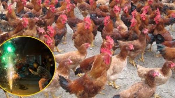 Gần 250 con gà lăn đùng ra chết vì nghe tiếng pháo hoa