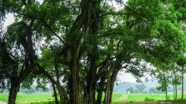 """Cận cảnh cây """"ma làng"""" 800 năm tuổi tại vùng núi Hòa Bình"""