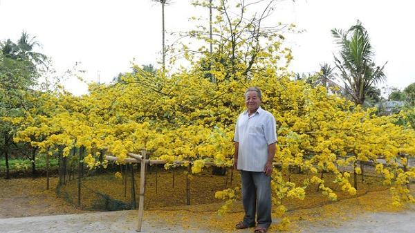 Cận cảnh cây mai 80 tuổi ở Vĩnh Long thu hút nhiều du khách