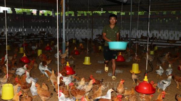 Hòa Bình: Nuôi gà đồi Hương Nhượng, người phụ nữ Mường trở thành triệu phú