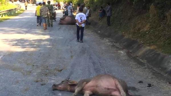 Xe khách đâm vào cả đàn trâu đi giữa quốc lộ làm nhiều con chết và gãy chân