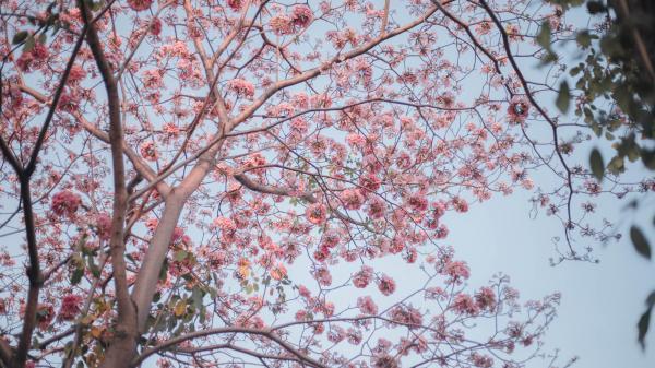 Mùa kèn hồng nở đẹp mê hồn, nếu không về Sóc Trăng bạn vẫn thỏa sức ngắm hoa ở Sài Gòn