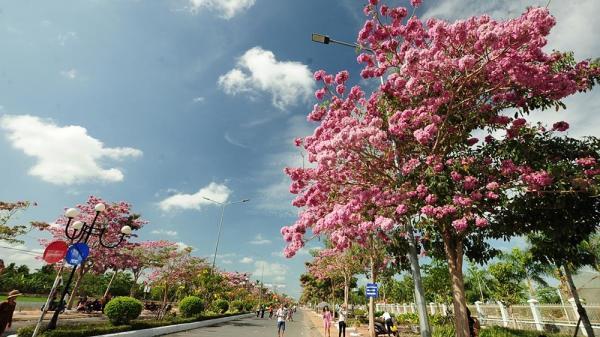 Sóc Trăng: Con đường 160 cây hoa kèn hồng nở rực rỡ thu hút giới trẻ miền Tây