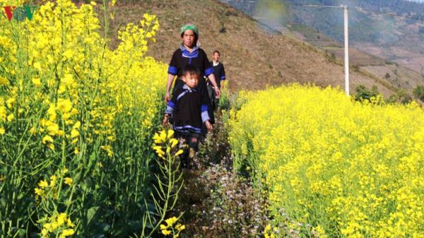 [Ảnh] Mùa vàng hoa cải trên danh thắng ruộng bậc thang Mù Cang Chải