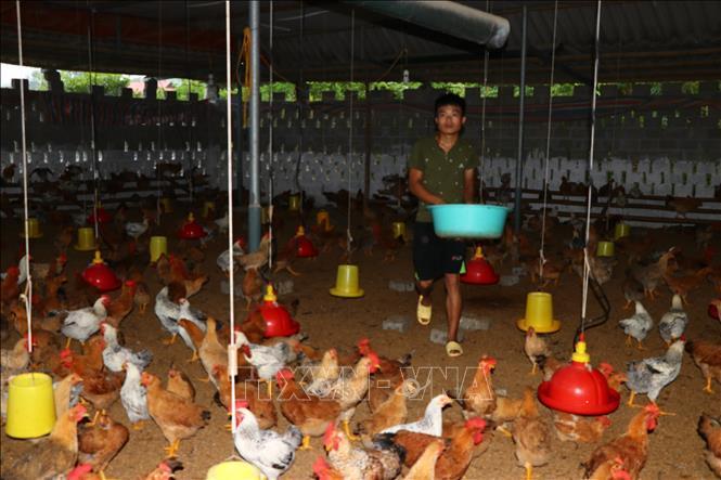 Trại gà của Hợp tác xã gà đồi Hương Nhượng kết hợp nuôi nhốt và thả vườn.